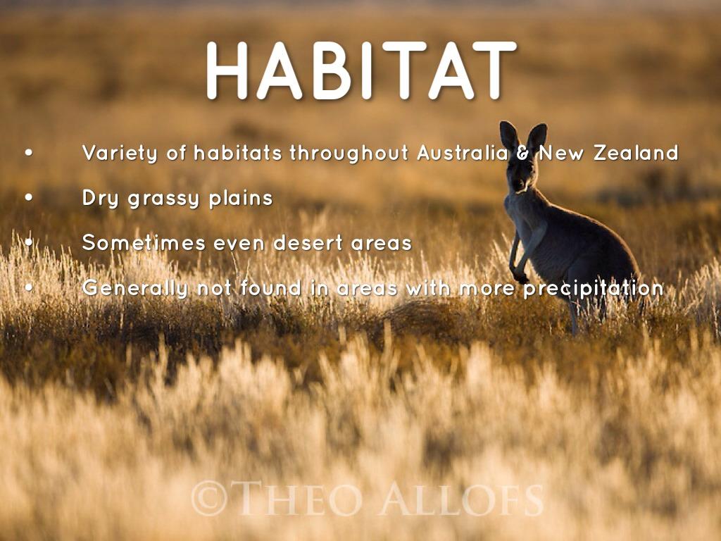 Red Kangaroo Habitat 2 013 fun facts...