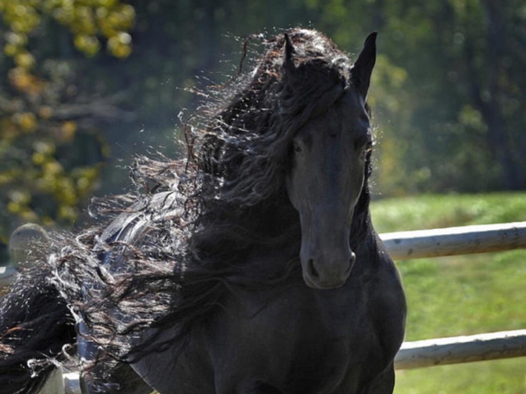 BLACK BEAUTY FRIESIAN HORSE