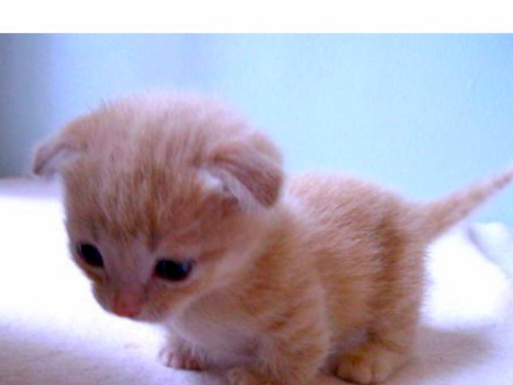 munchkin kitties by isabelle thompson