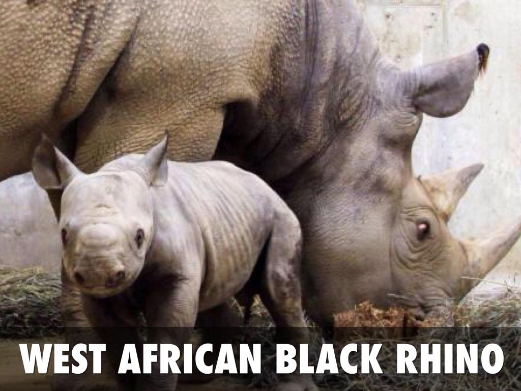 West African Black Rhino