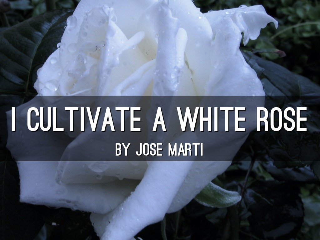 I Cultivate A White Rose By Haleigh Smith