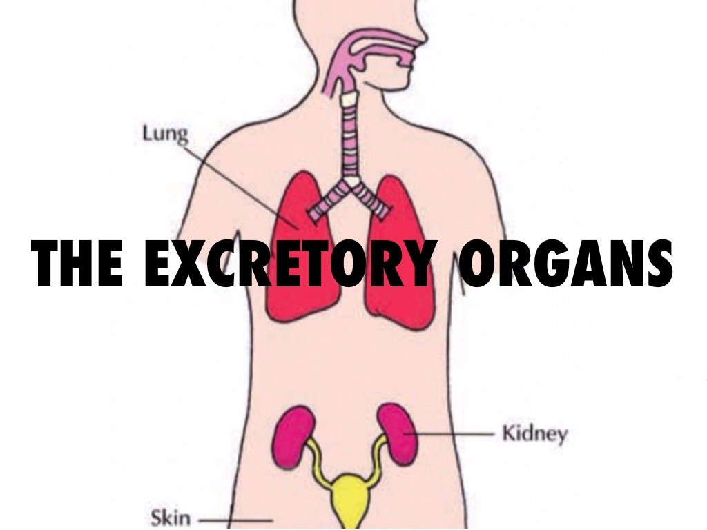 The excretory system by lucy murphy the excretory system ccuart Choice Image