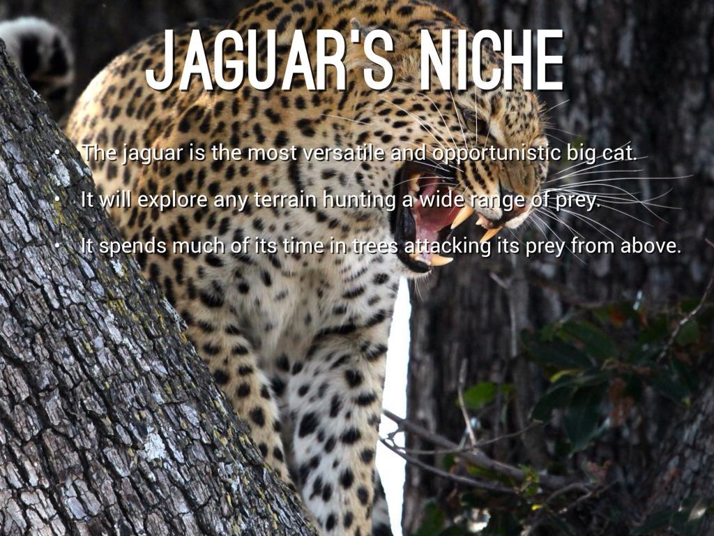 JAGUARu0027S NICHE. The Jaguar Is ...