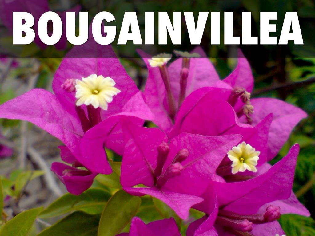 Bougainvillea Plant In The Tropical Rainforest