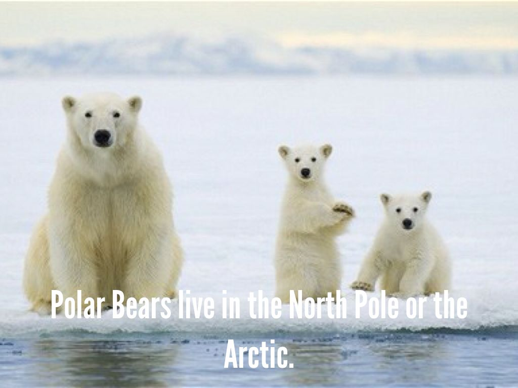 all about polar bears by suzanne ferreira