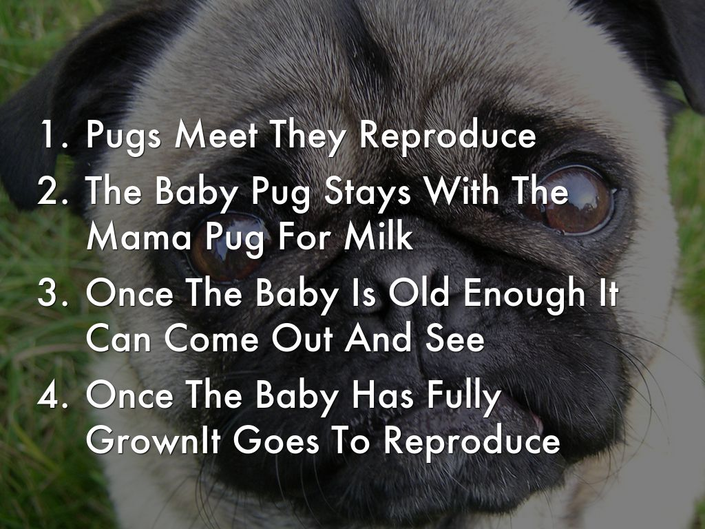Pugs Are A Breed Of Dogs It Is Mammal