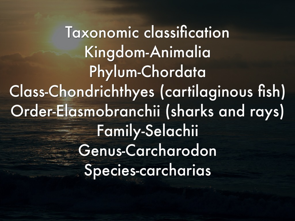 great white sharks by rebekah patterson great white shark human kingdom phylum class order family genus species