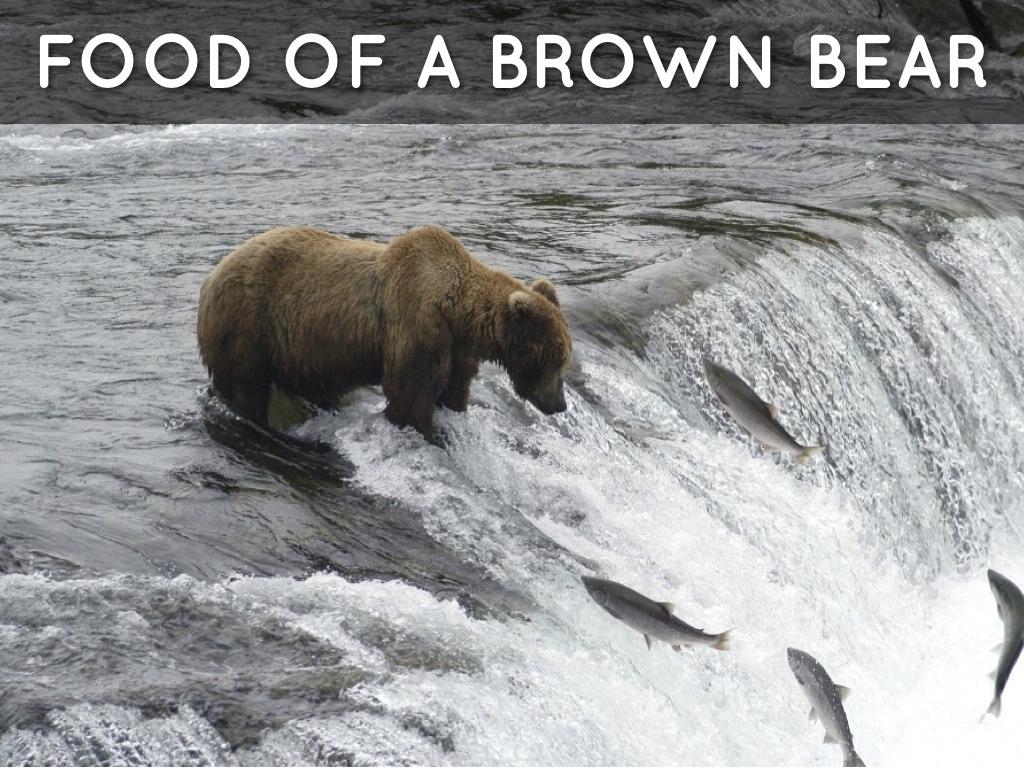 brown bear searching for food ~ Animal Photos on Creative ...  |Brown Bear Food