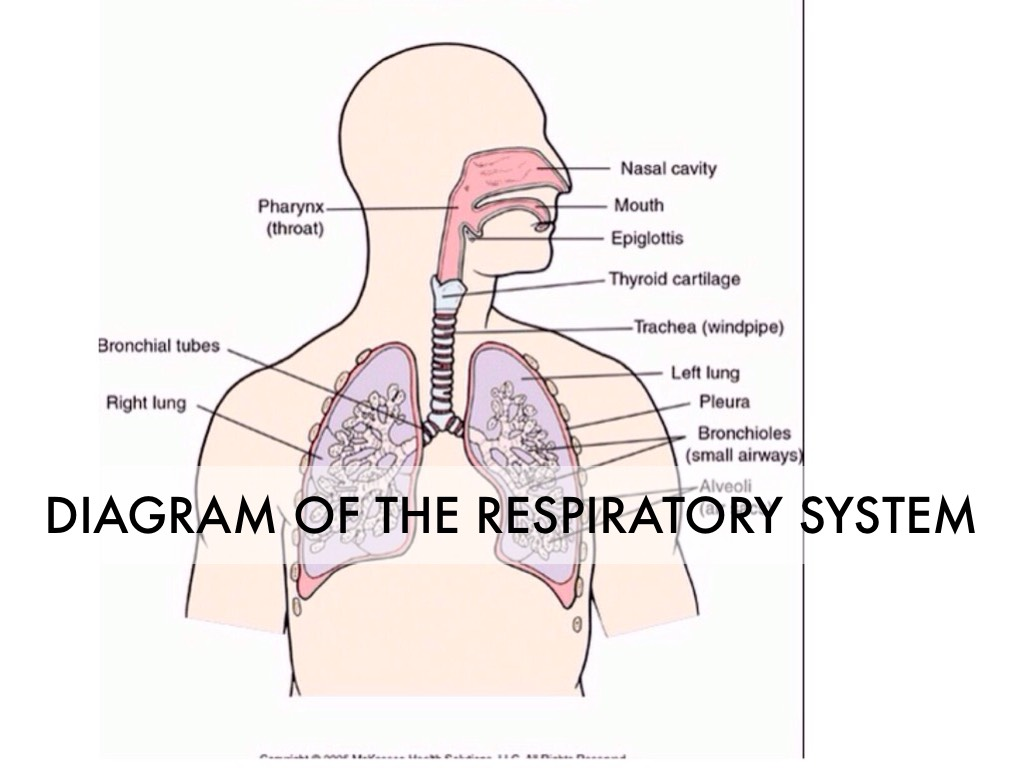 Diagram of the respiratory system tenderness the respiratory system by macflo8535 skeleton pooptronica