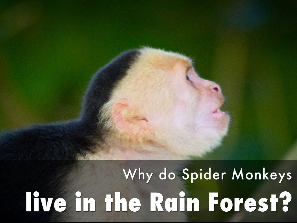 Spider Monkeys and their habitat by Sonya Ford