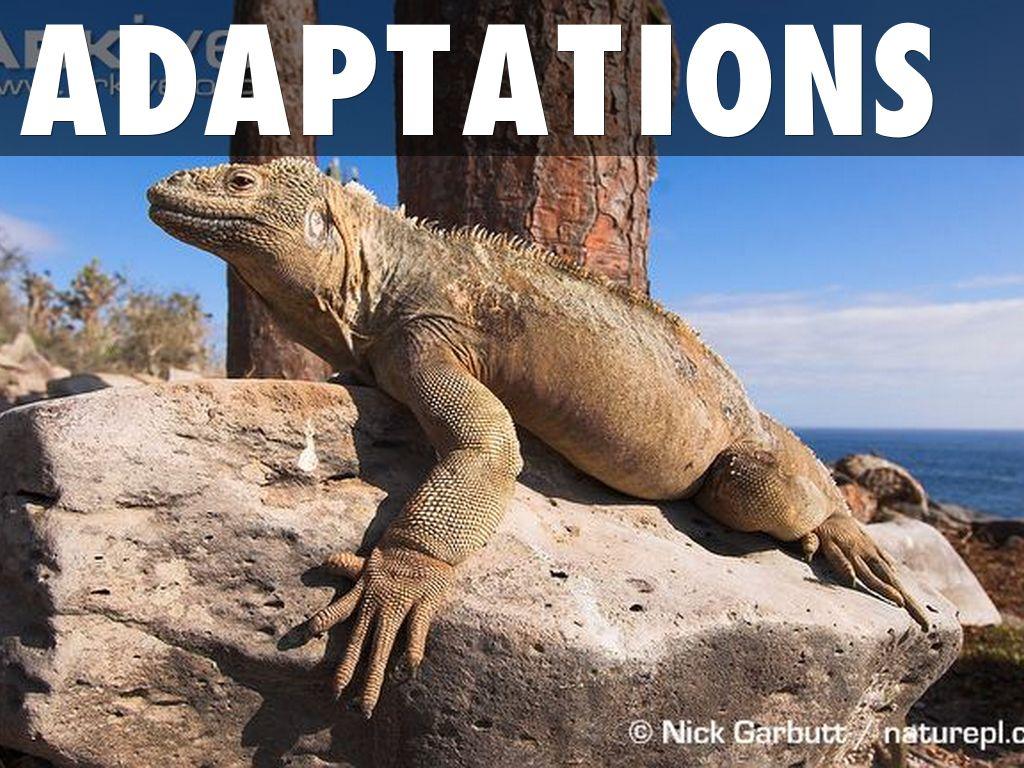 Santa Fe Terrestrial Iguana by cem.geray - photo#42