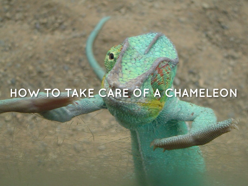 How To Take Care Of A Chameleon