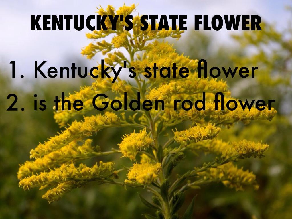 KENTUCKY'S STATE FLOWER