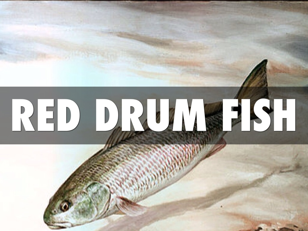 red drum fish (redfish) essay The croaker & drum family now has its own page  this fish is iucn red list rated ne  [redfish (fishbase),.