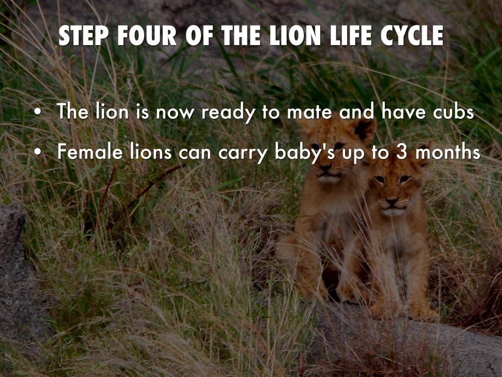 Cole Lion by Matt Herberg
