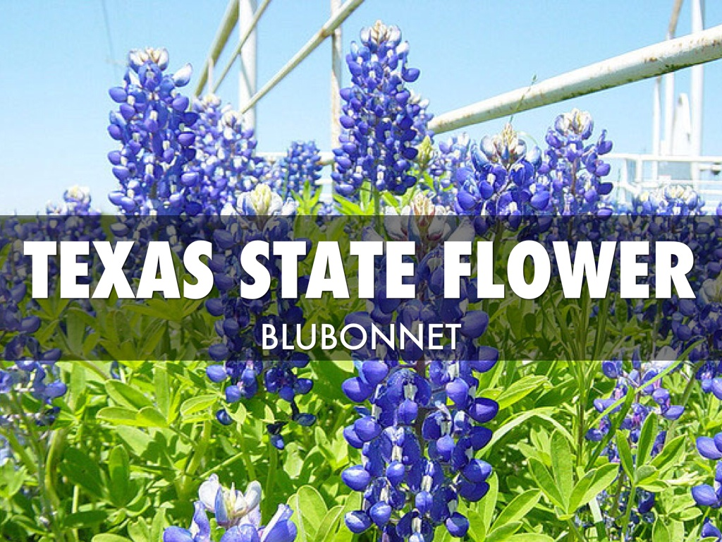 Texas State Flower And Bird Flowers Ideas For Review