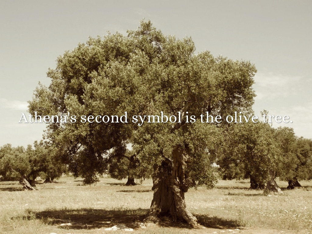 athenas olive tree wwwpixsharkcom images galleries
