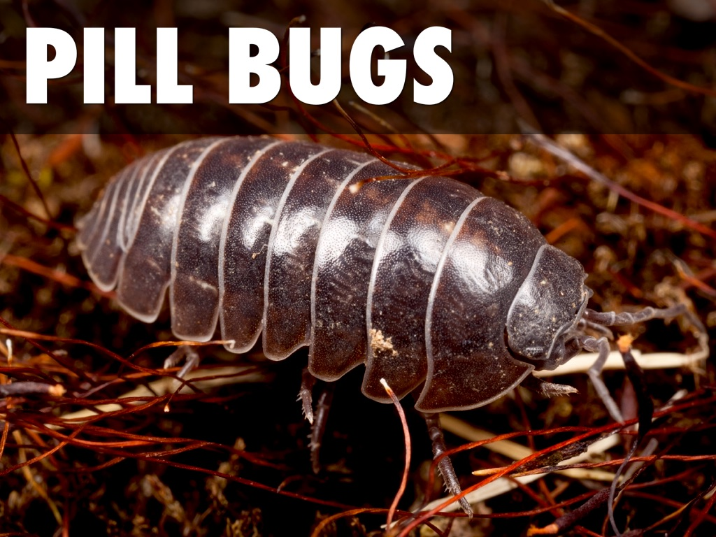 pill bugs behavior Behavior can be attributed to the manipulated environmental variable one assumption of such laboratory studies, is that the organism's behavior in lab is indicative of its behavior in nature.