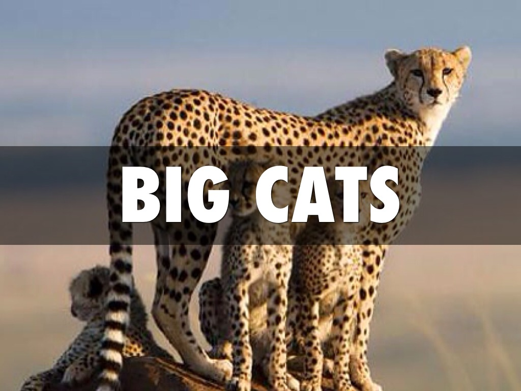 Big Cats By Jasmin Day