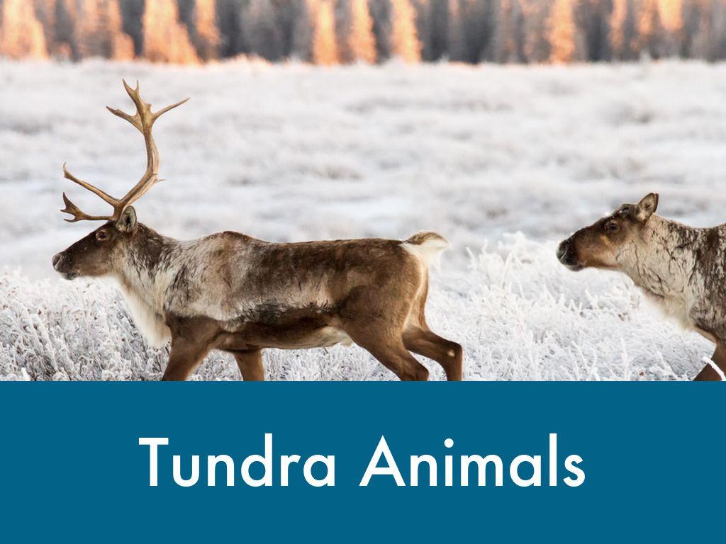 tundra animals - HD1024×768