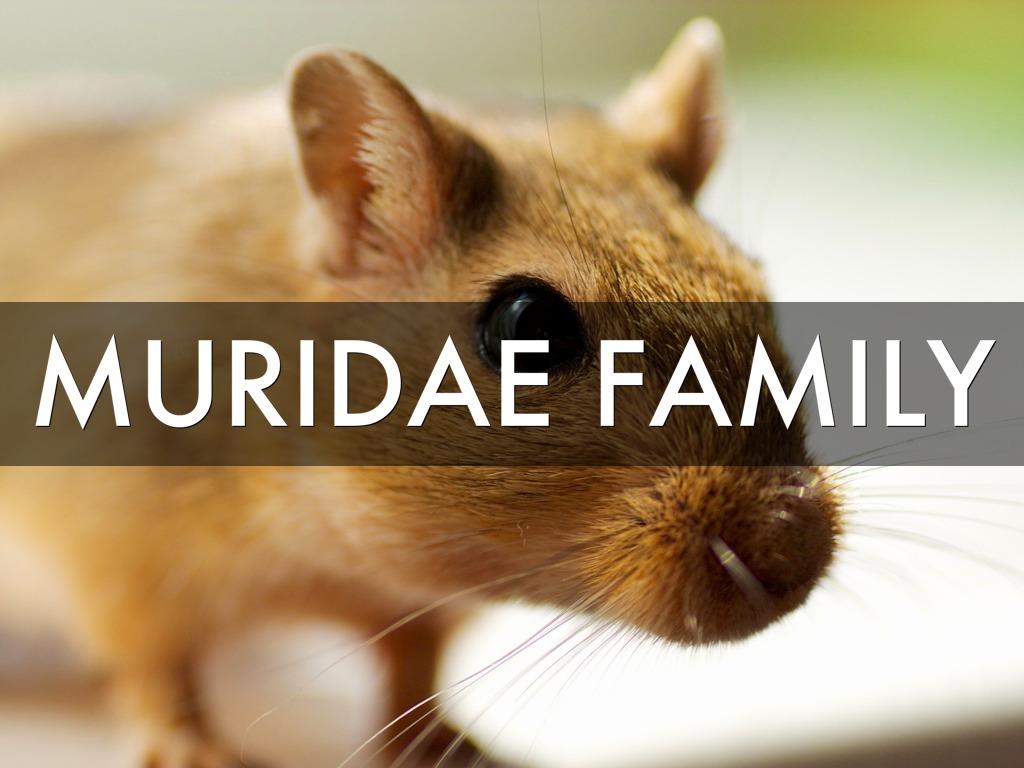 Key Largo Wood Rat By Fran Siracusa