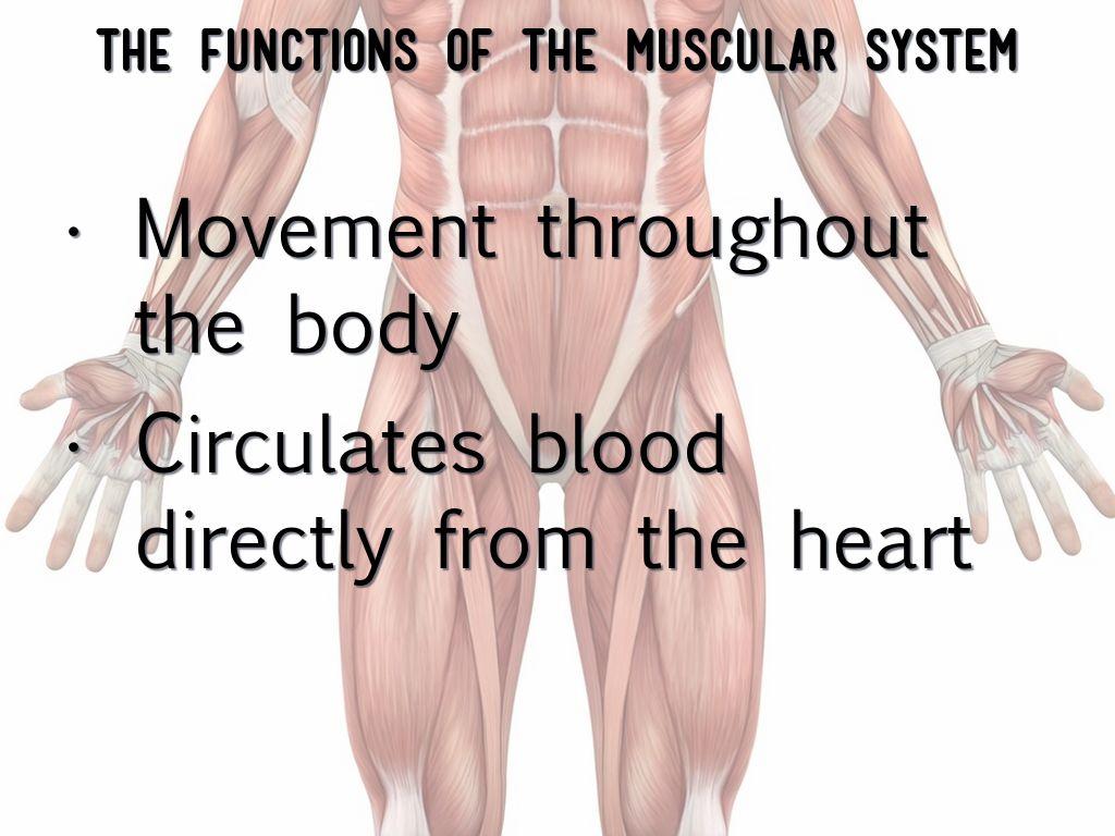 Muscular System By Luke Park