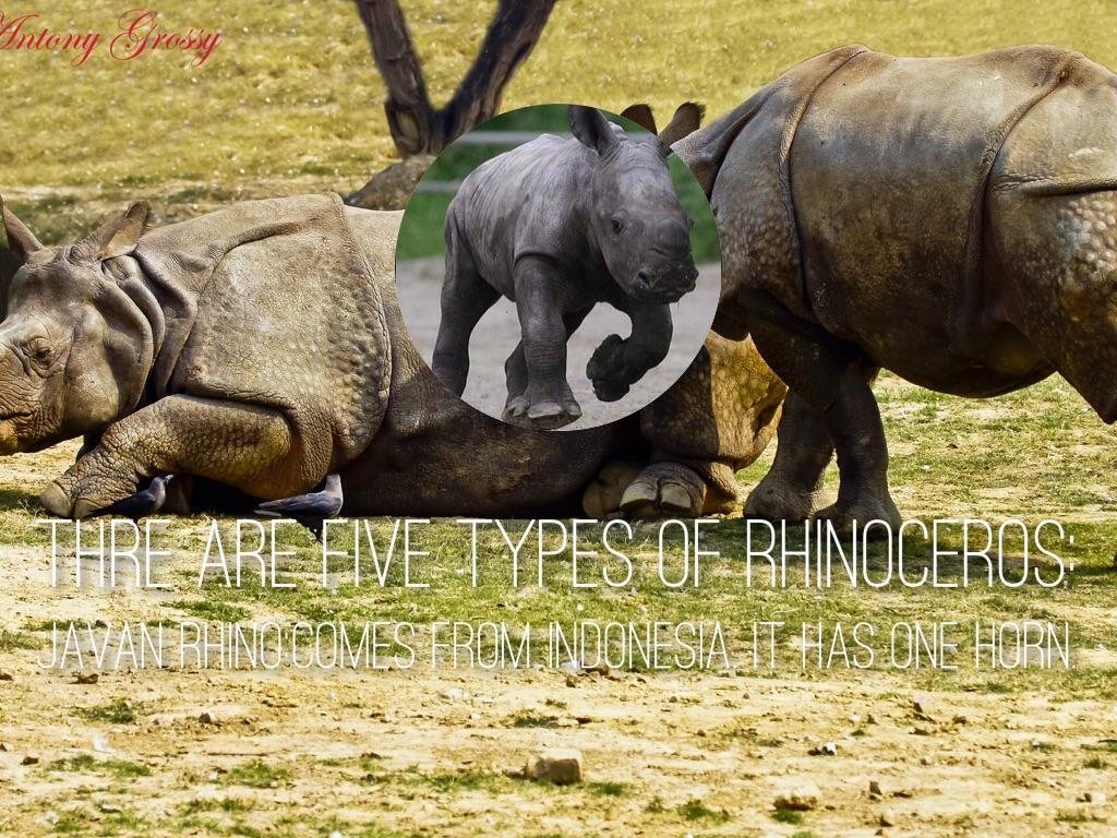 The Rhinoceros by Alexa Birch
