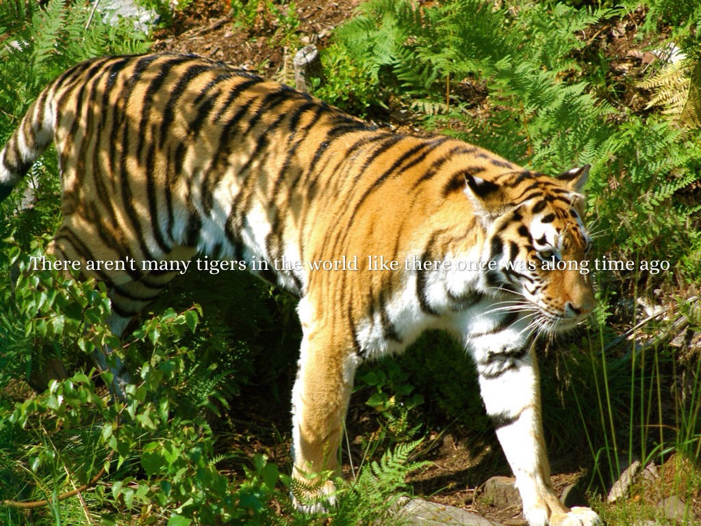 why are tigers disapperaing So why are conservationists boycotting the world's first tiger summit  three of the nine subspecies (the bali, javan and caspian tigers) are extinct a fourth, the south  i despair for the disappearing wonders of the world.
