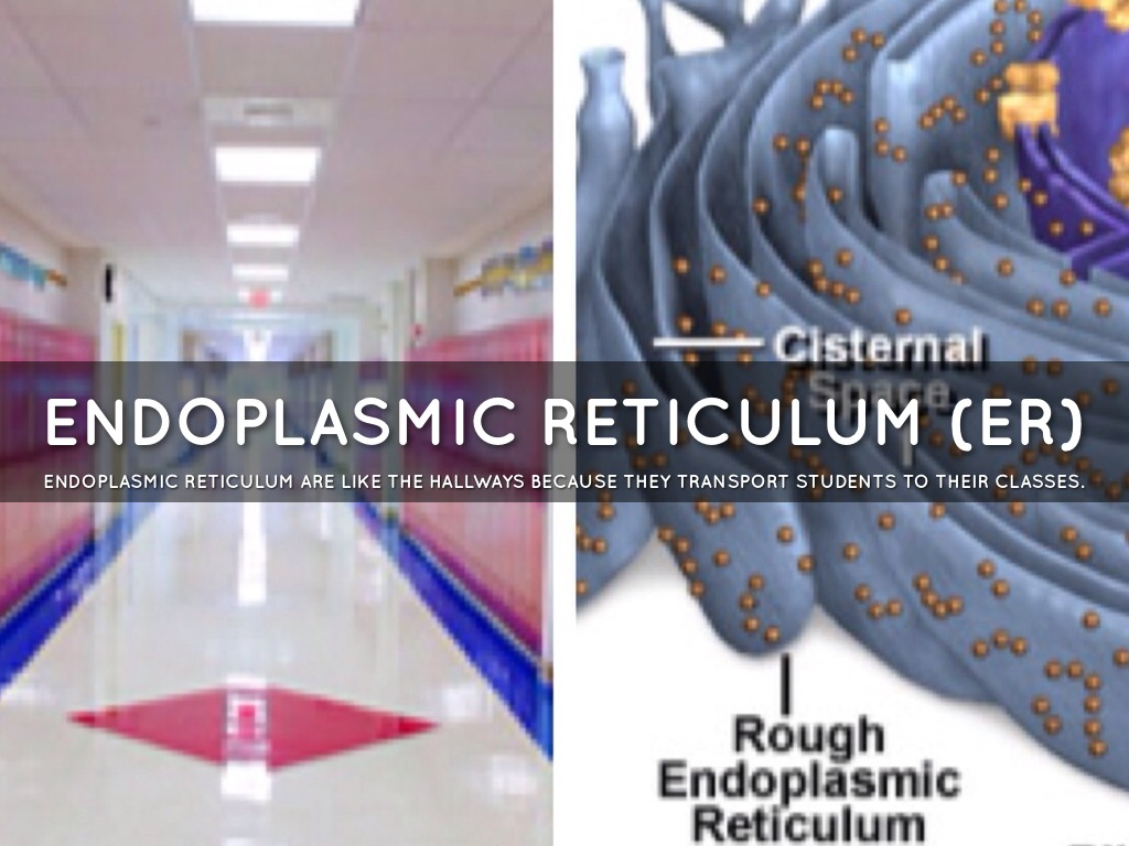 endoplasmic reticulum analogy endoplasmic reticulum analogy - Londa.britishcollege.co