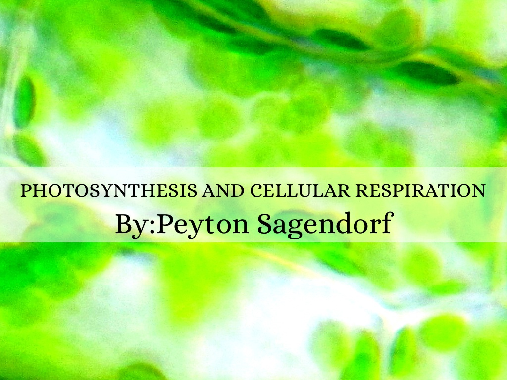 photosynthesis and cellular respiration essay questions After the photosynthesis happens, then the cells in the plant use cellular respiration to turn this food into energy that the plant can actually use photosynthesis happens before respiration can.