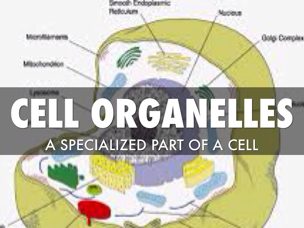 Plant Cell Organelles Diagram Sidney Fulton 1024x768