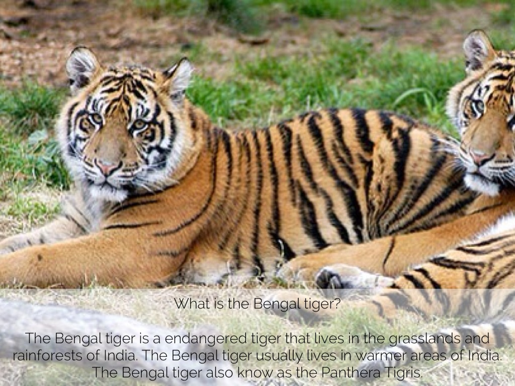 an introduction to the nature of the bengal tiger Bengal tigers are natural predators they are usually solitary in nature they scent mark their territories against all the other predators the tigers are nocturnal by nature they are powerful hunters and are primarily known to hunt for prey as a daily activity in most of the cases, they.