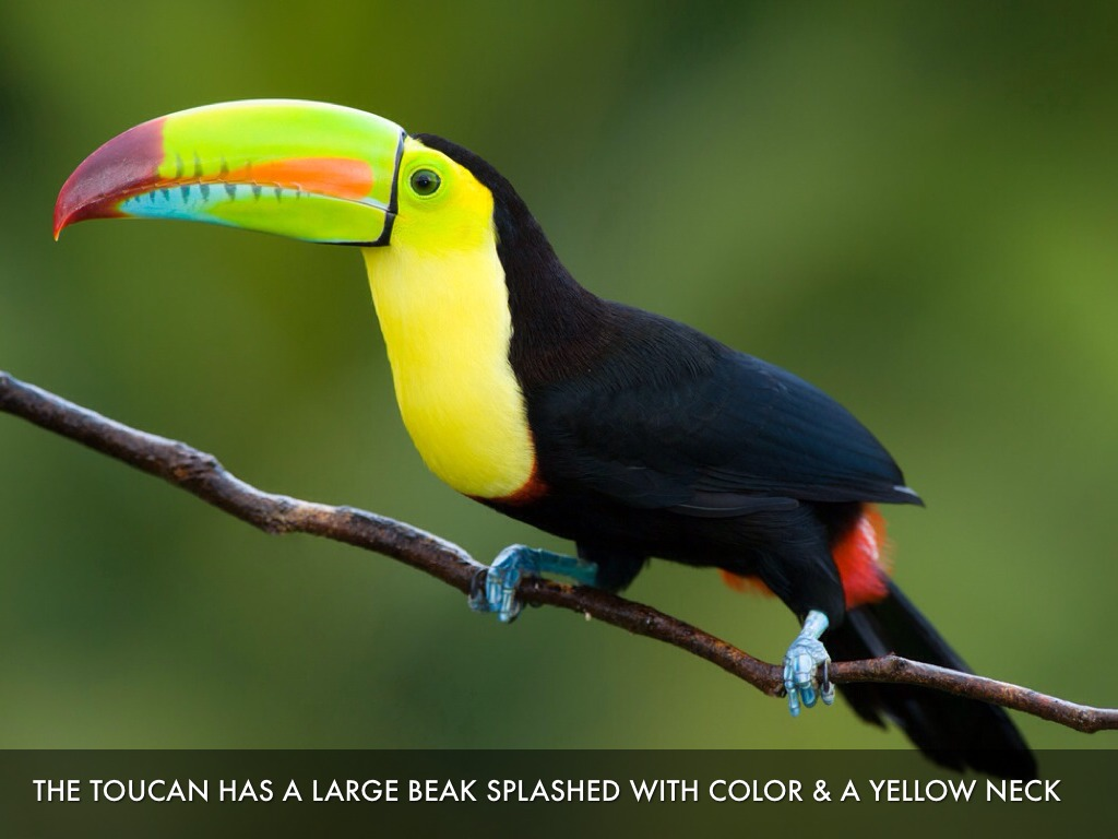 Toucan Facts by Meg McCarthy
