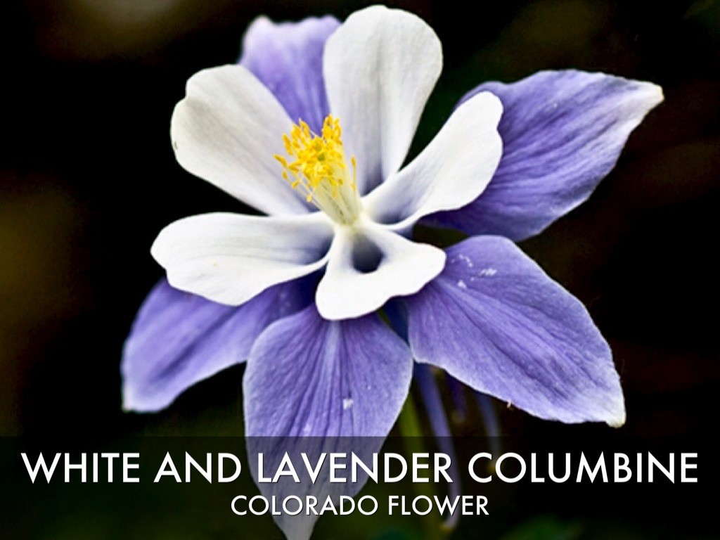 White And Lavender Columbine Colorado Flower