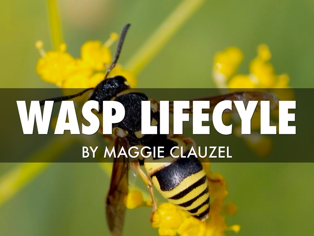 Wasp lifecycle