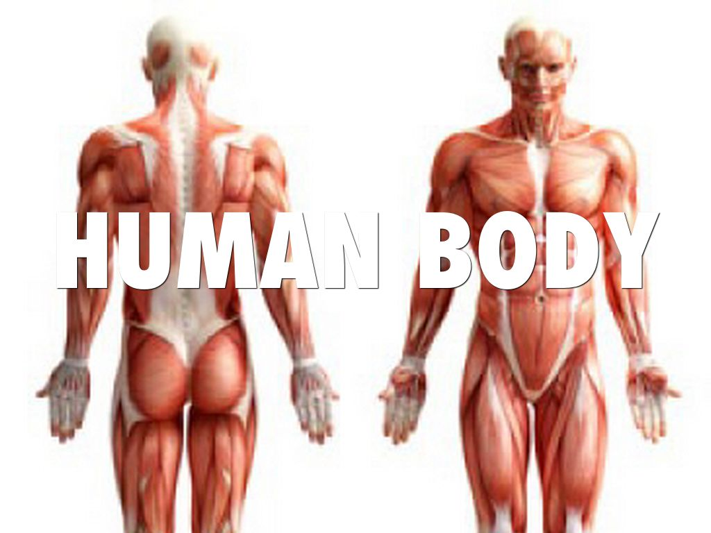 human body system by angelo crisostomo, Muscles