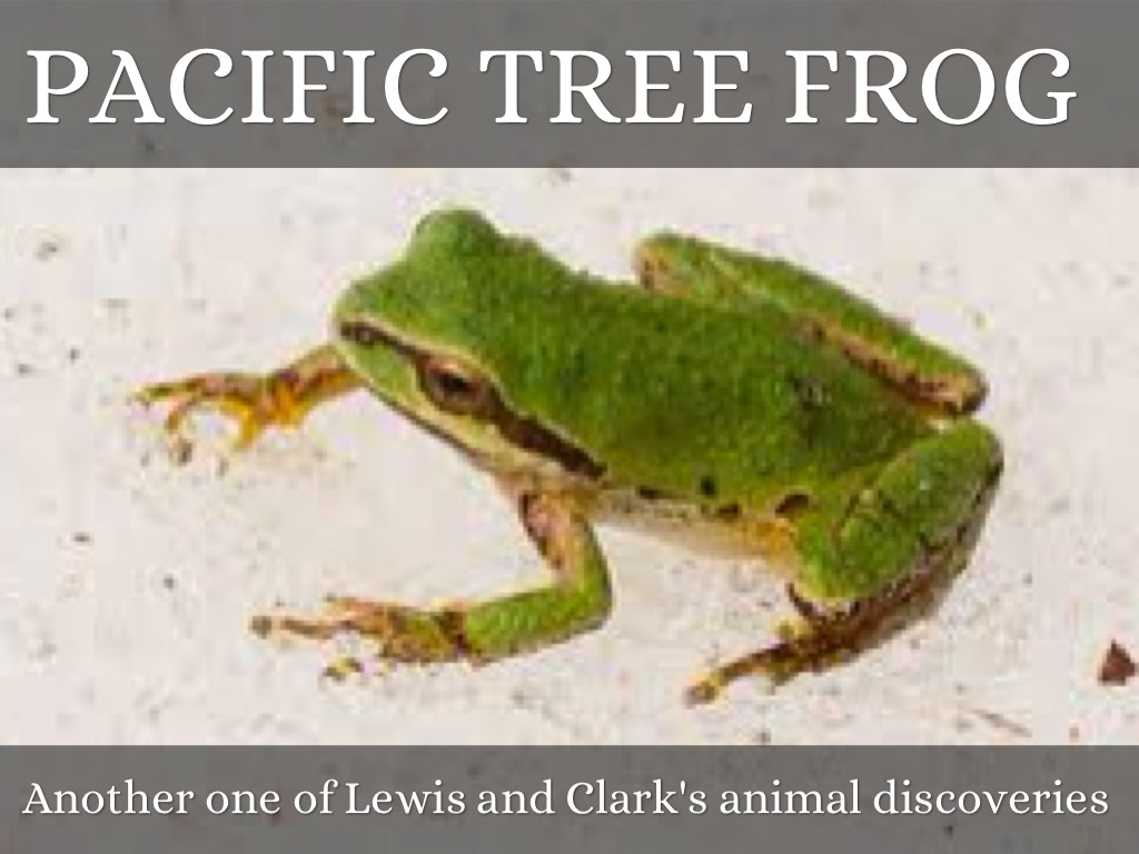 pacific tree frog Photo about a little green pacific tree frog image of arboreal, looking, animal - 26913155.