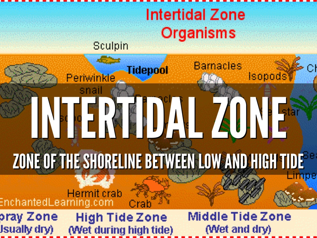 intertidal organisms Life of the intertidal zones and tide pools intertidal organisms are primarily marine plants and animals but may spend a great deal of time out of water.