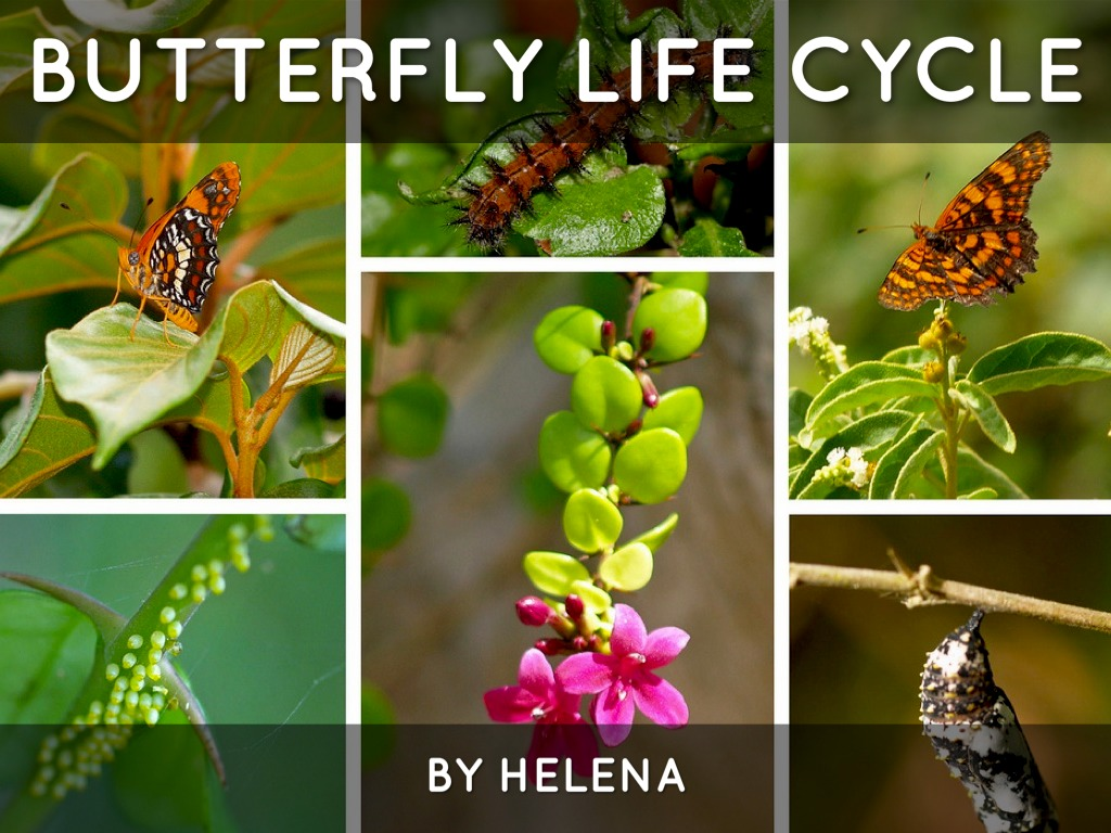 butterfly life cycle An animal that eats a monarch butterfly usually doesn't die, but it feels sick enough to avoid monarchs in the future the most amazing thing about monarch butterflies is the enormous migration that north american monarchs undertake each year.