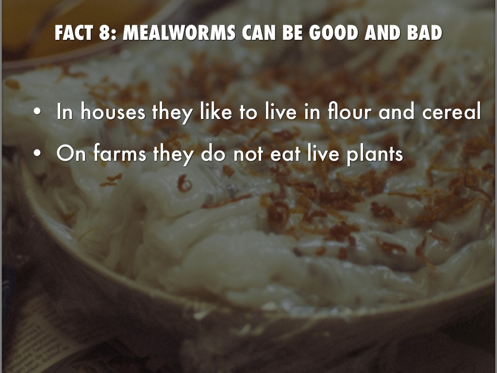 mealworms report