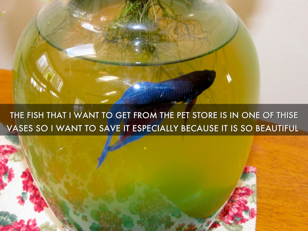 Betta fish by hailey howard the fish that i want to get from the pet store is in one of thise reviewsmspy