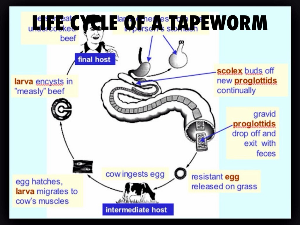 Tapeworm ad by ryne murray life cycle of a tapeworm pooptronica Image collections