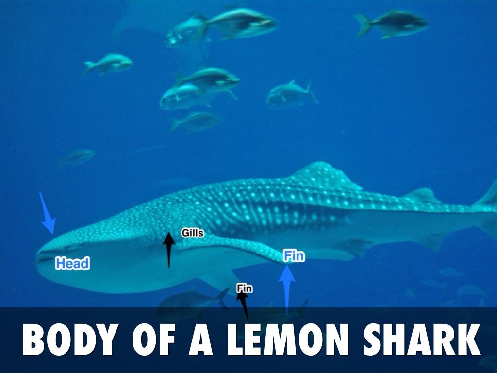 Lemon Sharks By Boexx044