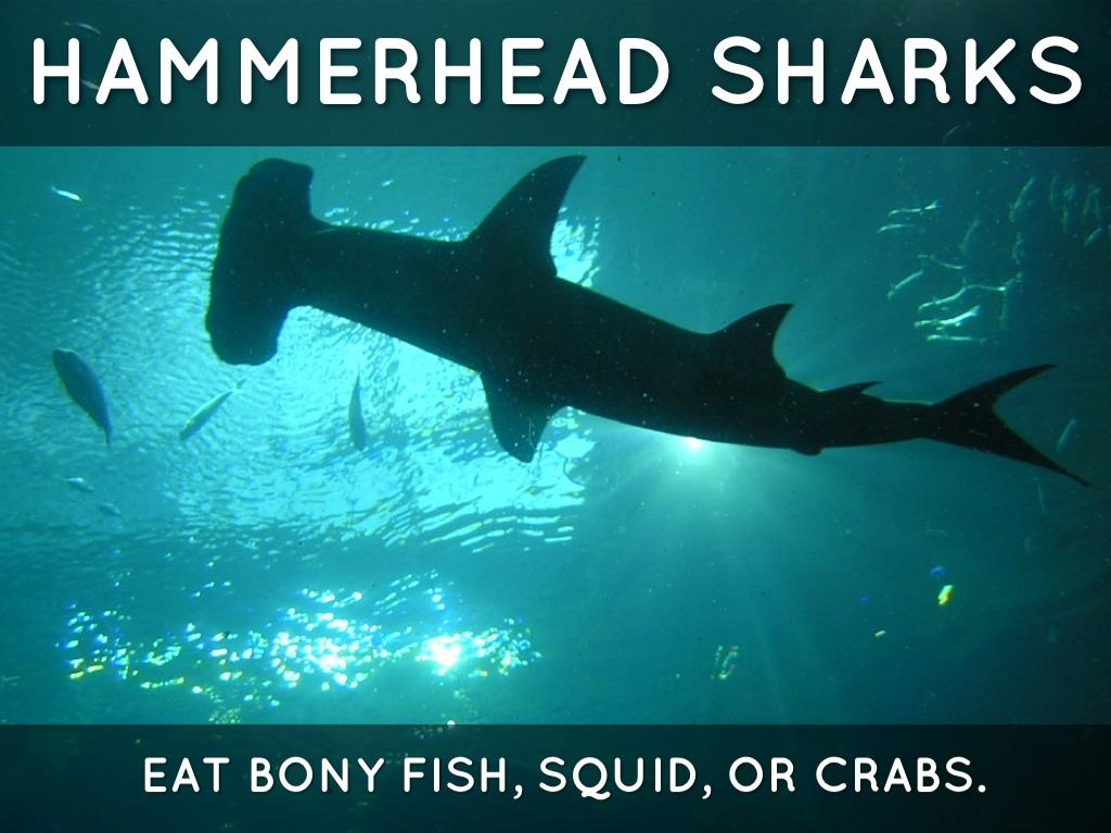 Smalleye hammerhead shark