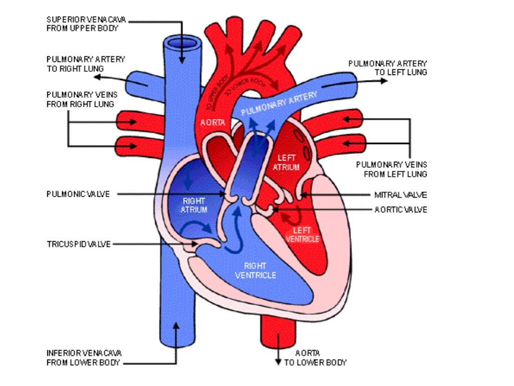 Circulatory System By Chloe Blazey