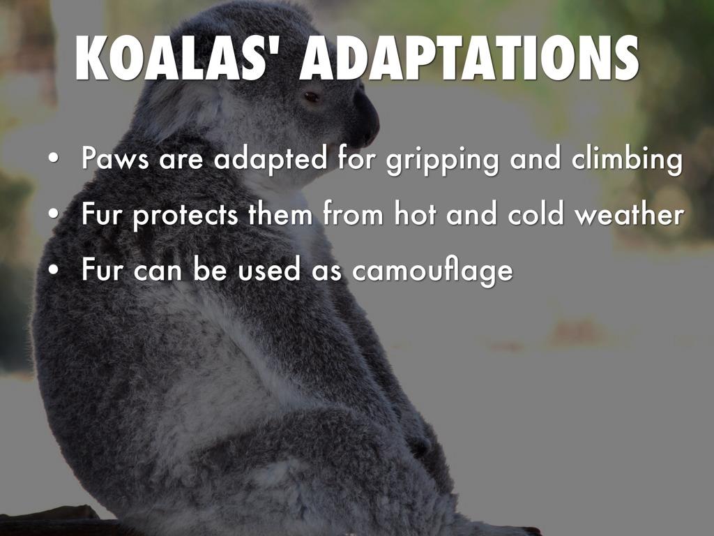Koala Presentation by Angel Vo