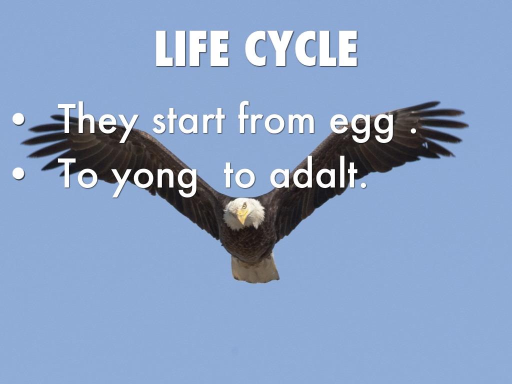 Bald Eagle Eyeing Sockey Salmon It S