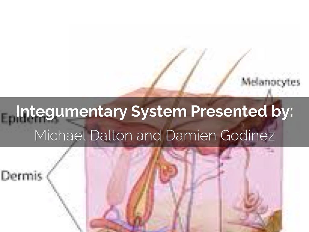 the integumentary system essay Although the integumentary system is the largest organ of the human body, it is often overlooked it has many essential functions in protecting the body.
