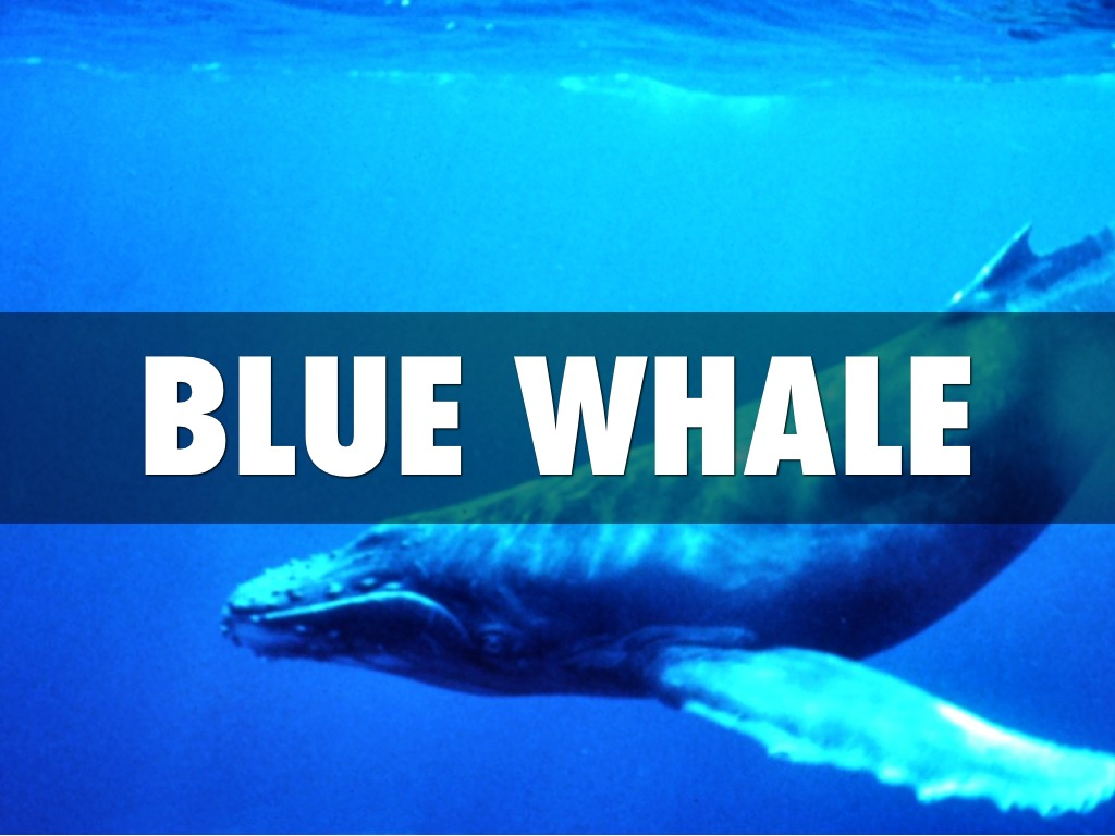 the description the blue whale The blue whale (balaenoptera musculus) is a marine mammal belonging to the baleen whales at up to 29 description a blue whale lifting its tail flukes.