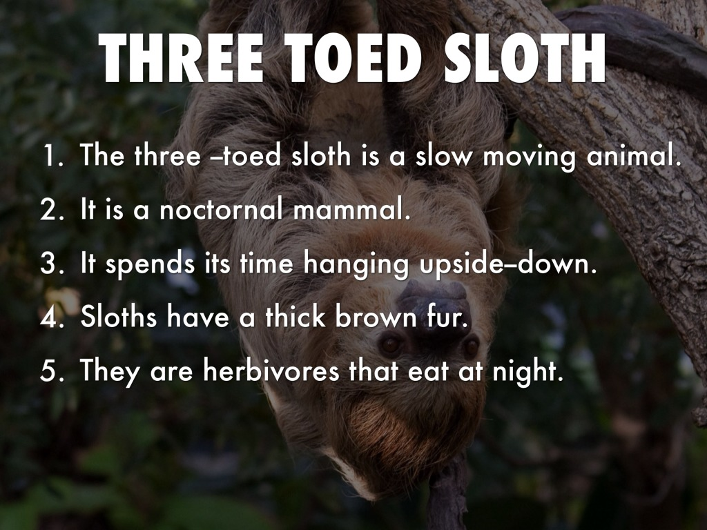 a study on sloths a slow moving mammal But sloths don't just live life in slow motion: they might even be able to put their metabolism on pause, a new study published in peerj suggests the slowpoke is now the only mammal known to be.